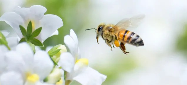 A Surprising Twist to the Story of What's Killing Our Bees: They're High