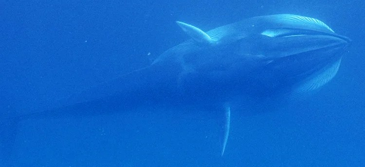 Watch the First Footage of the Planet's Most Elusive Whale