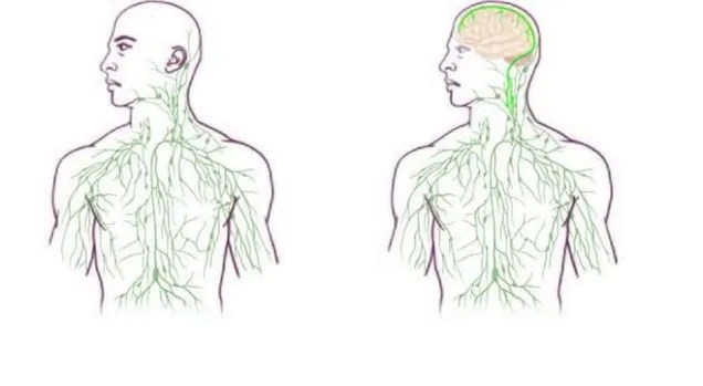 Científicos descubren un nuevo vínculo entre el cerebro y el sistema inmunológico