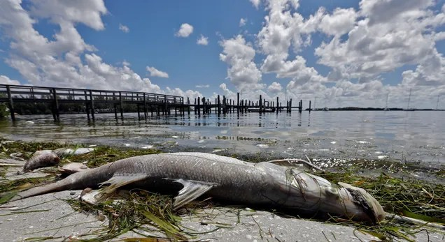 e61ecb079faad39270961801b33605f4 Red Tide Has Killed at Least 791 Tons of Fish in Florida | Gizmodo