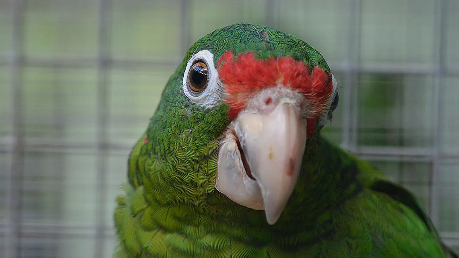 Searching For Puerto Rico S Endangered Parrots After