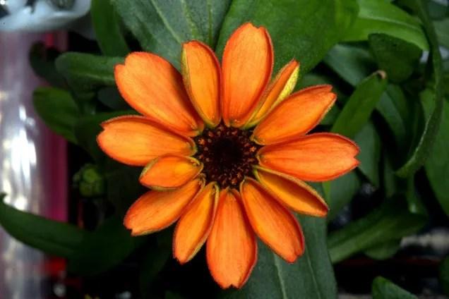 Il primo fiore sviluppato nello spazio è zinnia arancio commestibile
