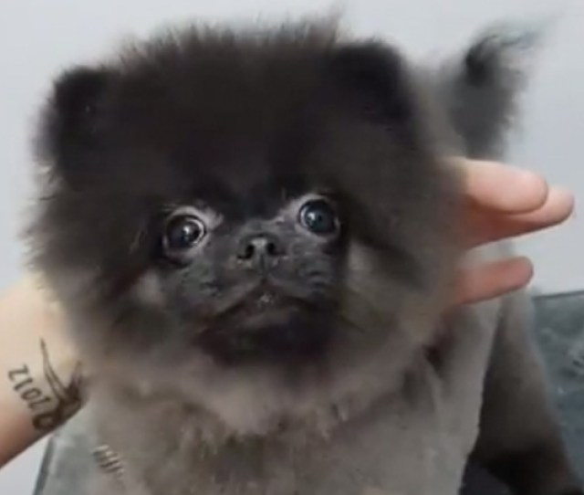 Dancing Dog Gets Haircut
