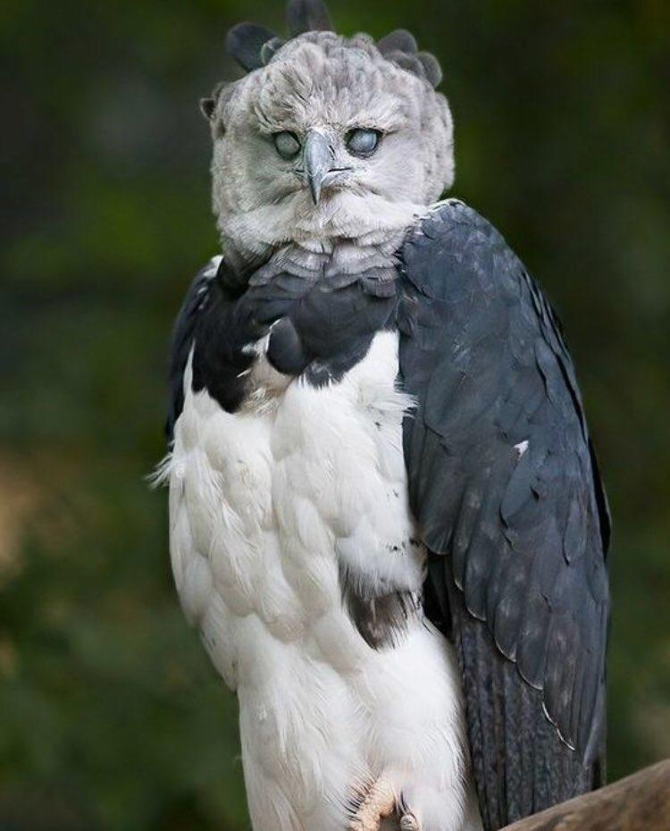 The Harpy Eagle Animals Know Your Meme