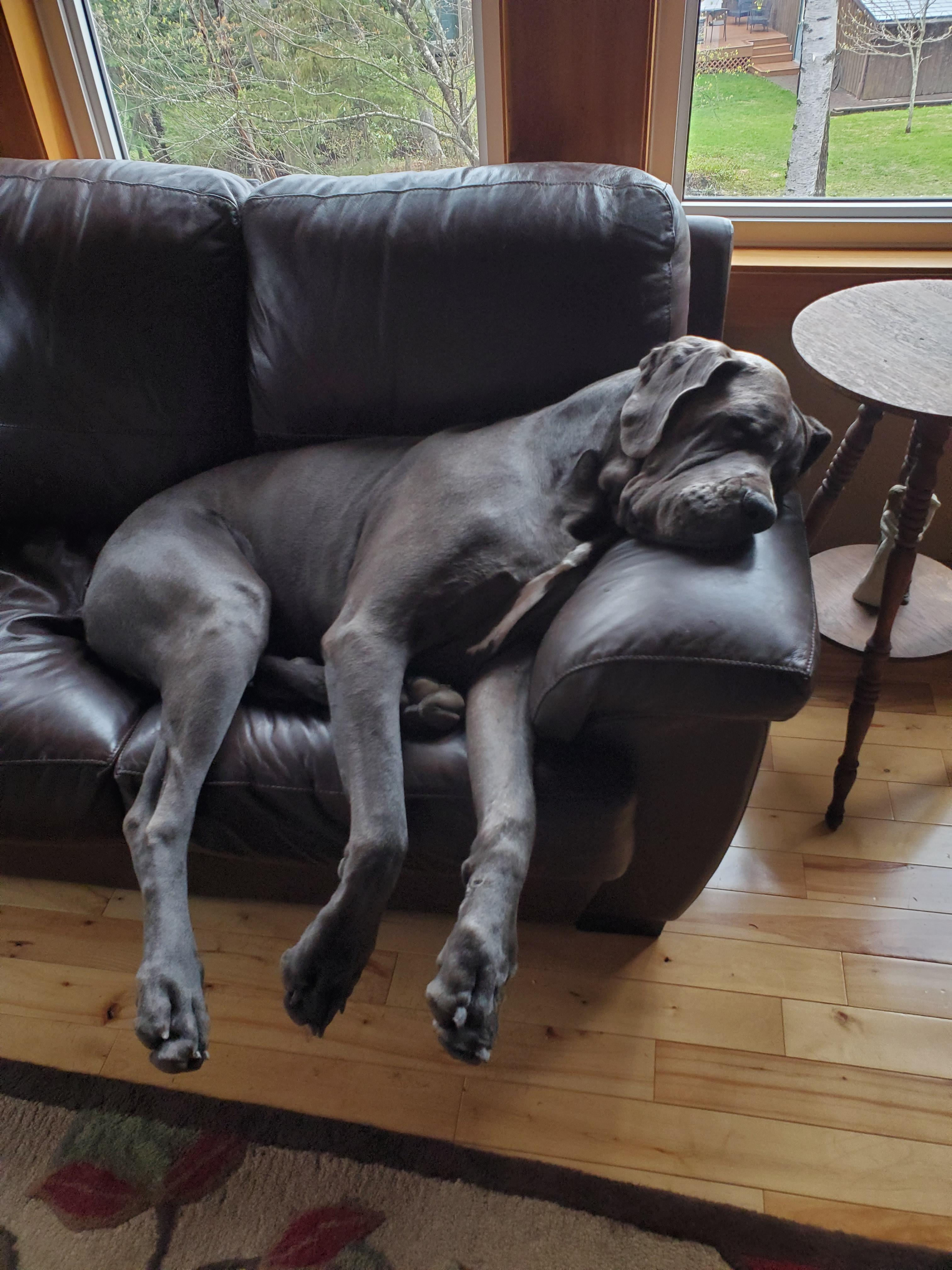 Great Dane Dogs Know Your Meme