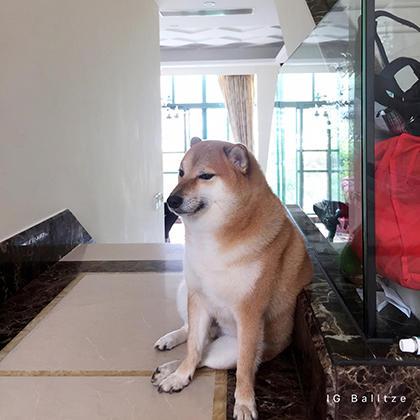 IG Balltz e Dog Mammal Vertebrate Canidae Dog breed Shiba inu Carnivore Akita
