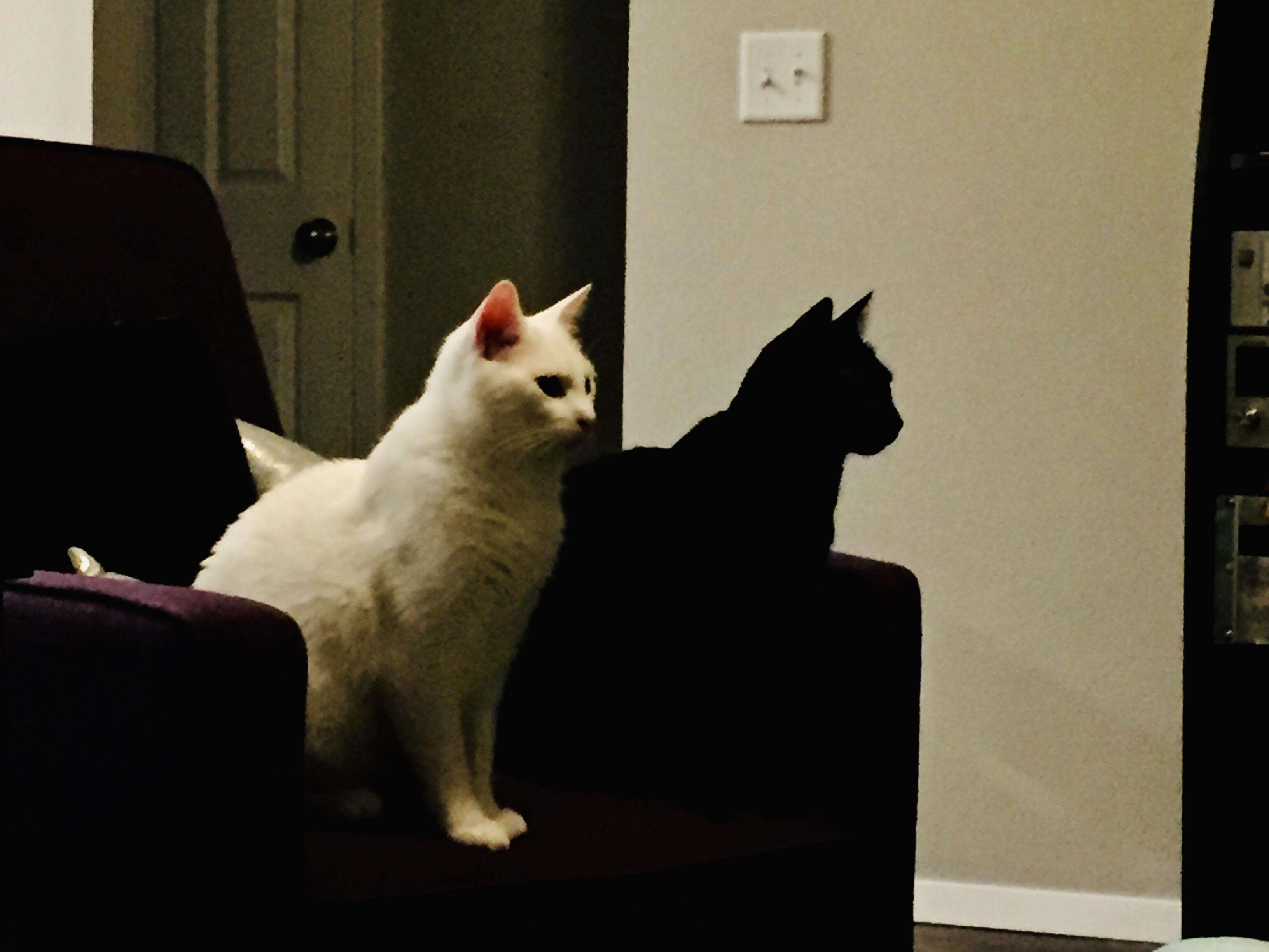My Black Cat Looks Like My White Cat S Shadow R