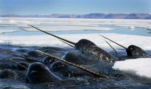 8- Boynuzlu balina olur mu? Olur!