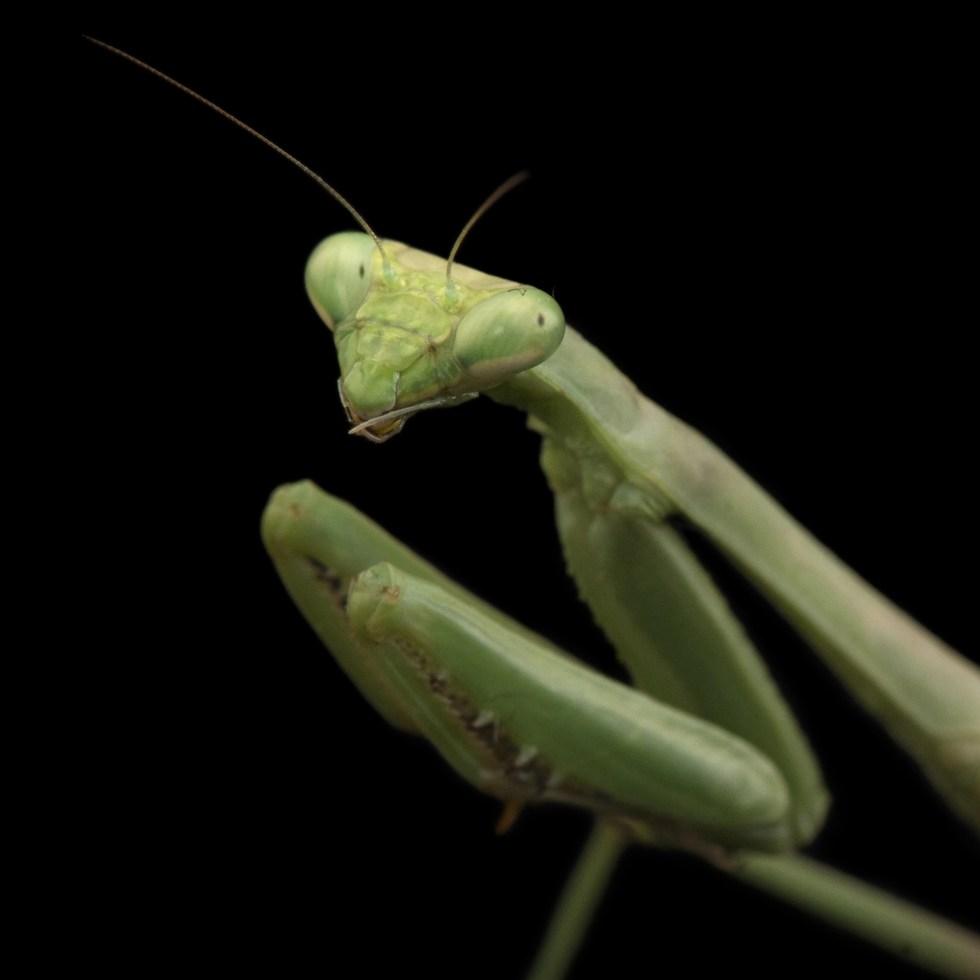 Praying mantis, facts and photos