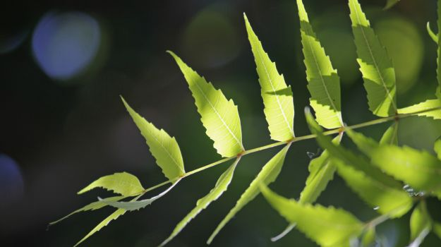 neem leaves 625