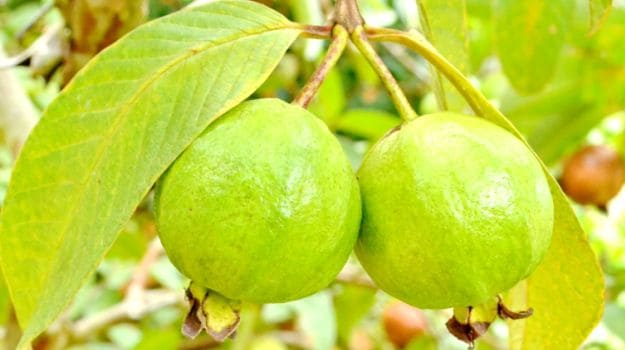 Guava-has-one-of-the-highest-quantities-of-vitamin-C-and-iron
