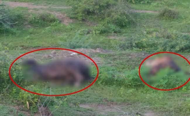 ग्राउंड रिपोर्ट : गुजरात में दलित आंदोलन का असर, जगह-जगह गायें मरी पड़ीं, दफनाने वाला कोई नहीं
