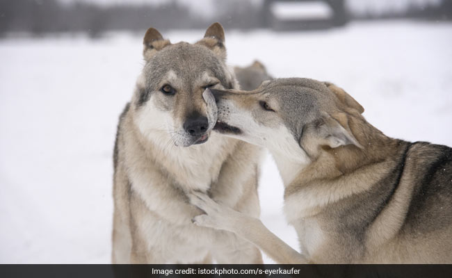 US State Reports First Litter Of Wolf Pups In 80 Years