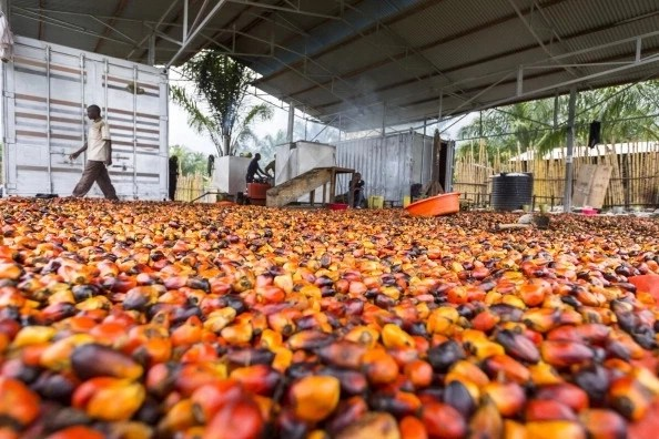 How To Start Palm Oil Processing Business In Nigeria