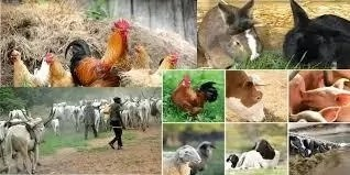 How to Improve Locally Breed of Livestock in Nigeria