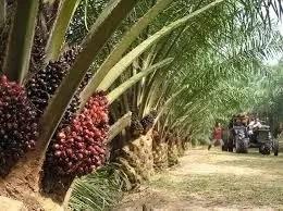 Steps to Start Palm Kernel Farm in Nigeria