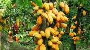 How to Farm Cocoa in Nigeria