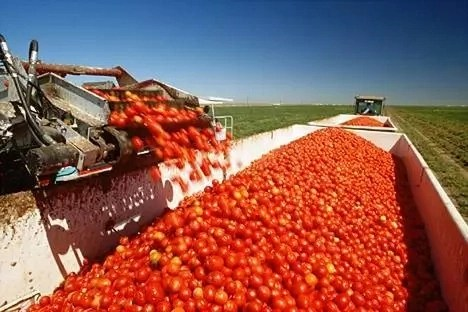 7 Steps to Start Commercial Tomatoes Production in Nigeria