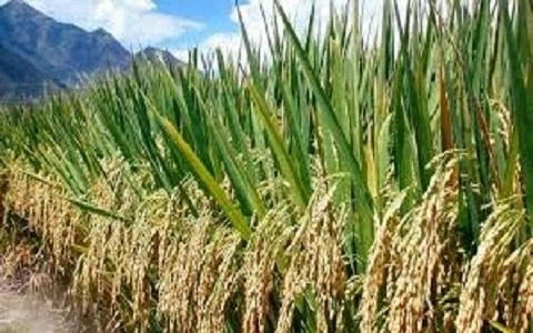 Rice Production in Nigeria 2018/2019