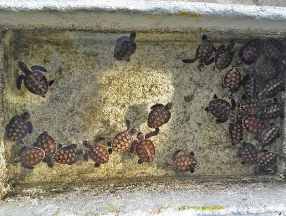 pusat pemeliharaan penyu di Pulau Kepayang