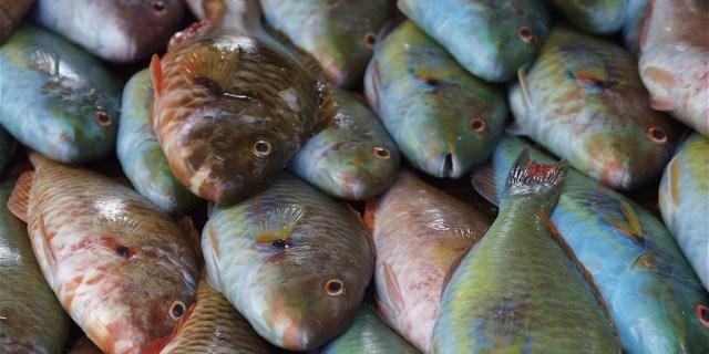 elakkan beli Parrot fish