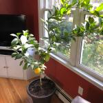 The Meyer Lemon Tree I Purchased A Couple Months Ago Is Very Lengthy Is There A Way I Can Make It More Bushy For Next Year Gardening