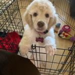 First Puppy Haircut For Standard Poodle Poodles