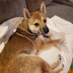 For The People That Know More About Shiba Coat Colors Than I Do We Happen To Have A Sesame Shiba This Is My 8 Month Old Shiba Who S A Puppy Mill Rescue