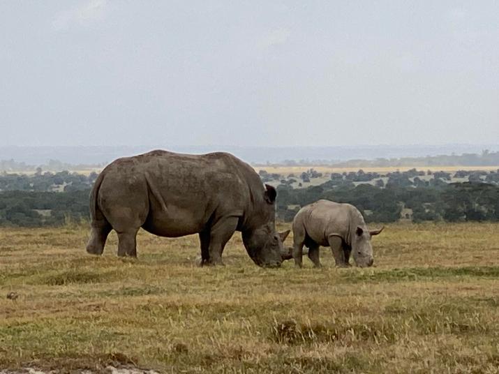 Rhinoceros and calf grazing [4032 x 3024]
