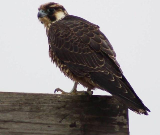 The Fastest Animal On The Planet The Peregrine Falcon