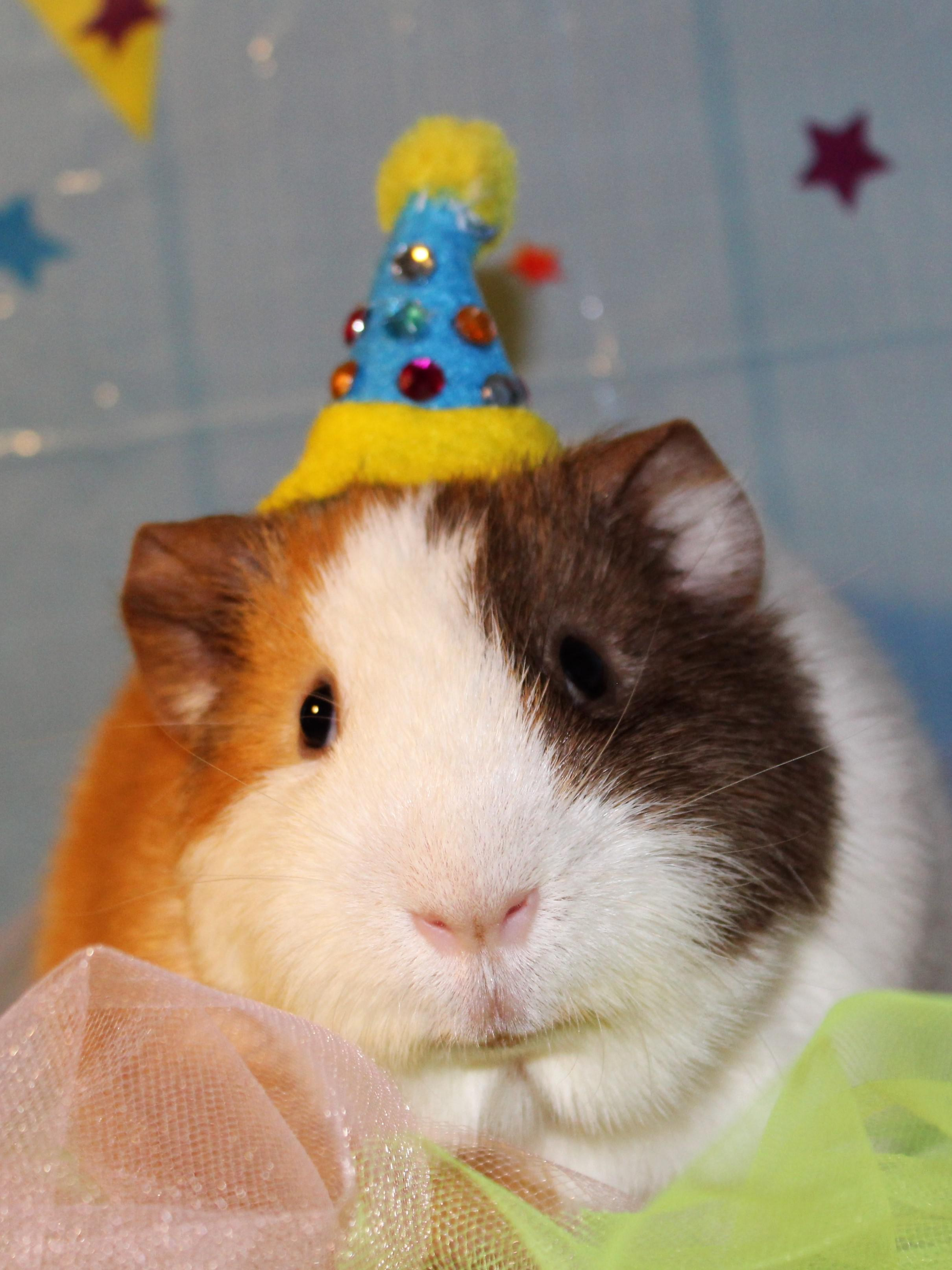 My 1st Guinea Pig Toast Is Celebrating His 1st Birthday Today Guineapigs