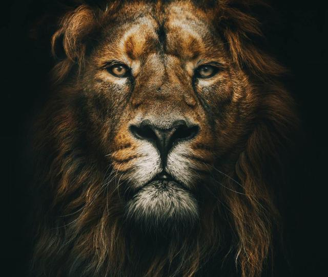 Lion Wallpaper For Any Iphone