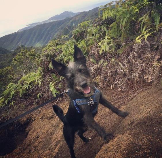 Chó Chihuahua lai Chó sục Scotland