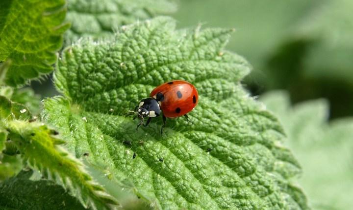 Ladybird Beetle [1920×1200]