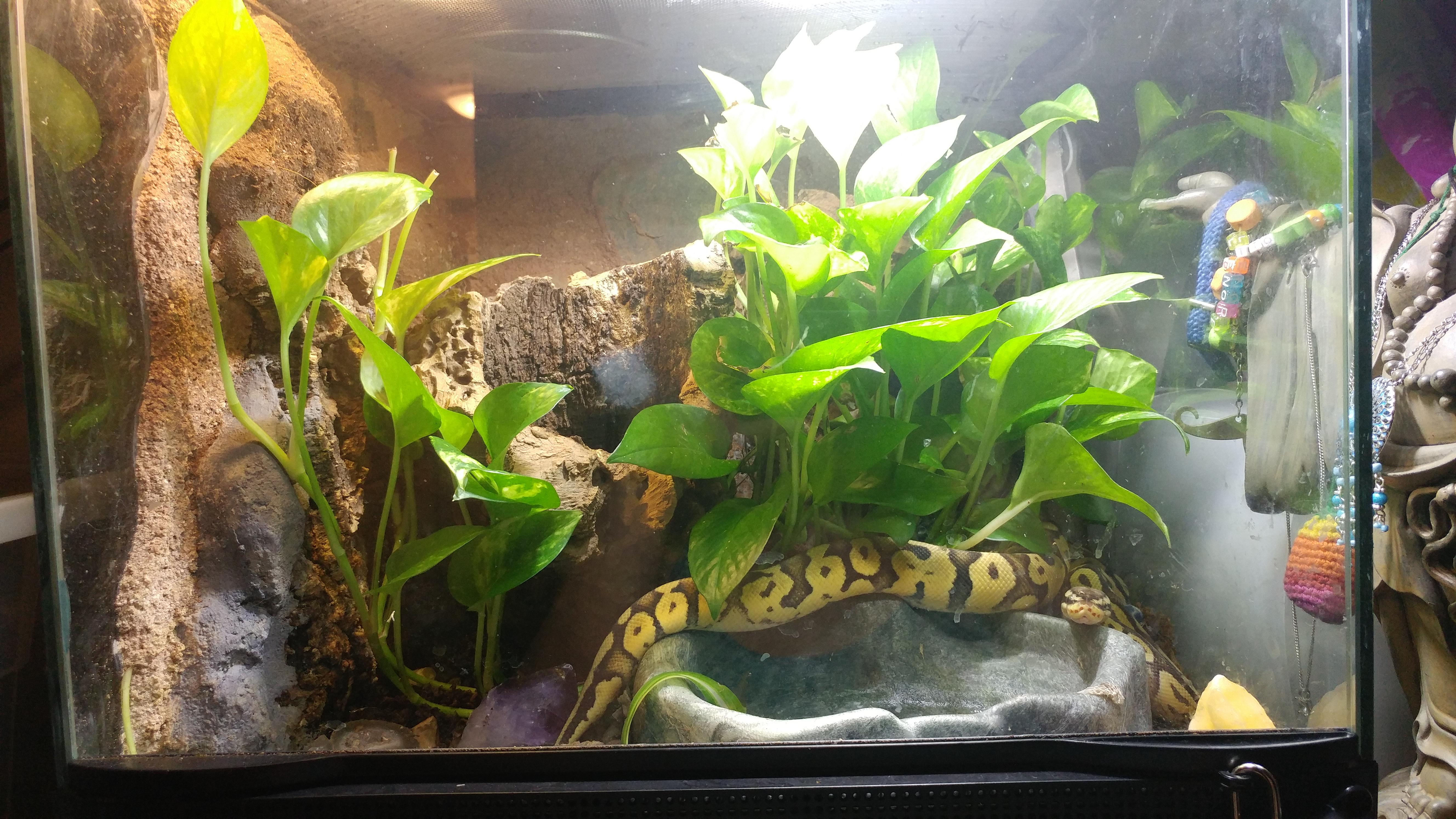 Bioactive Enclosure For Ball Python Snakes