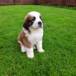 Our Saint Bernard Puppy Aww