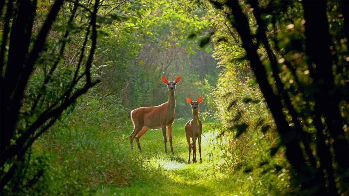 [1920×1080] Virginia deer