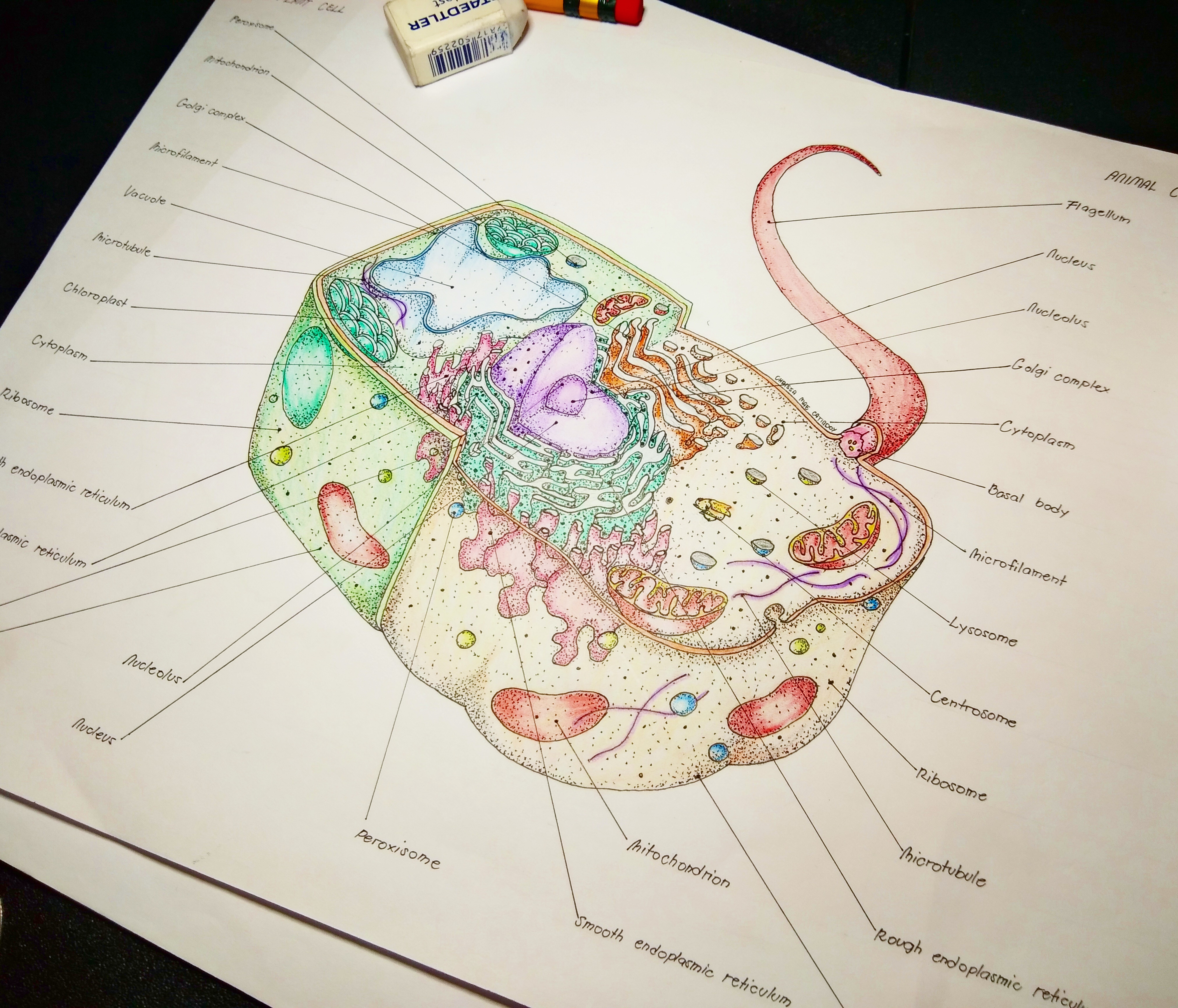 Eukaryotic Cell Half Plant Cell And Half Animal Cell