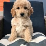 My 8 Week F1b Mini Goldendoodle What Will She Look Like Goldendoodles