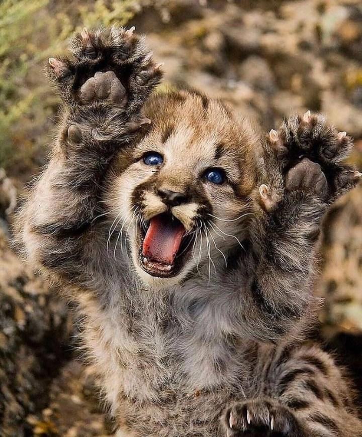 Baby cheetahs.