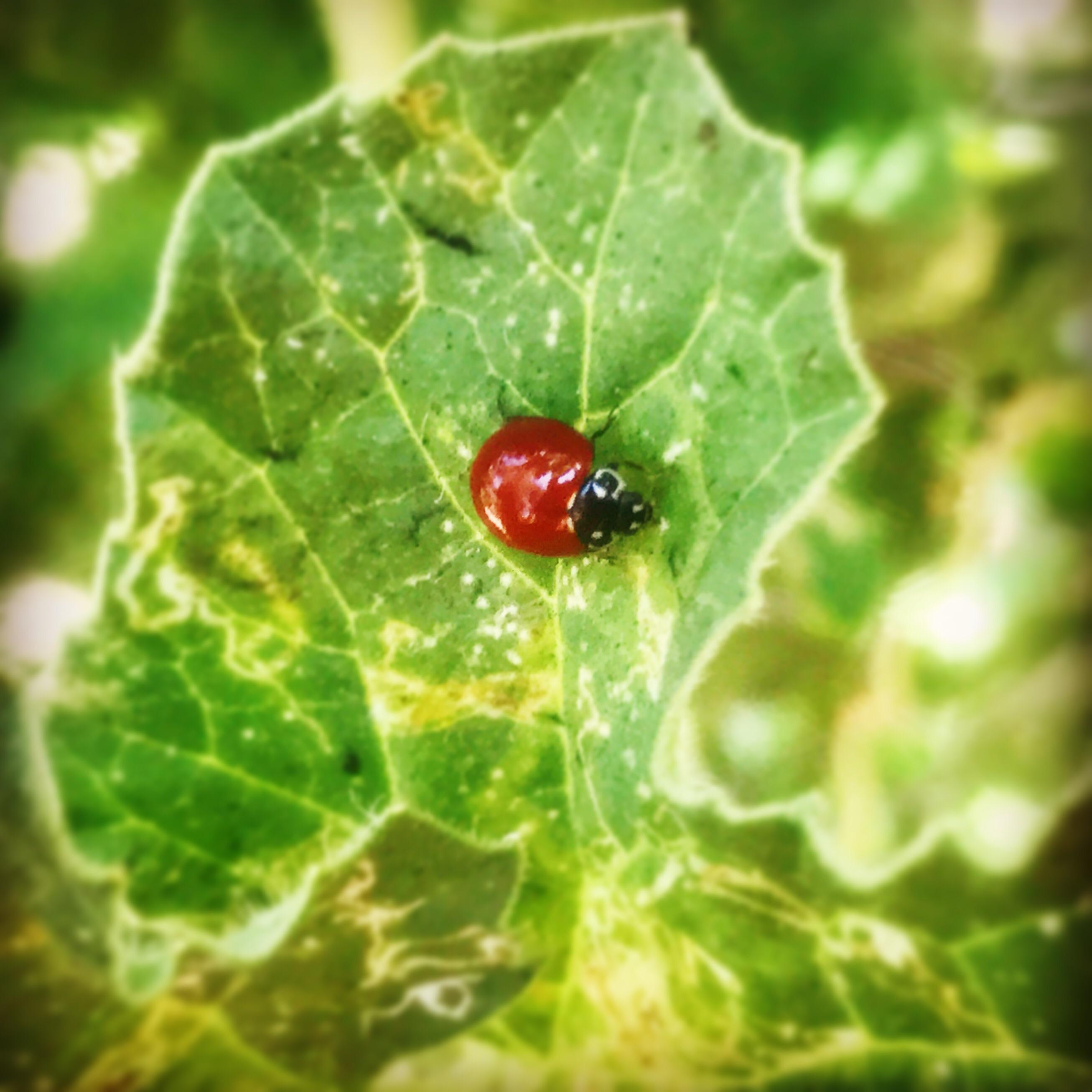 Ladybug W No Spots Gardening
