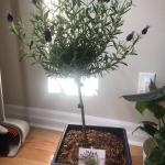 Is It Possible To Un Topiary A Lavender Topiary I Love That My Friends Support My Plant Habit But Not My Thing Indoorgarden