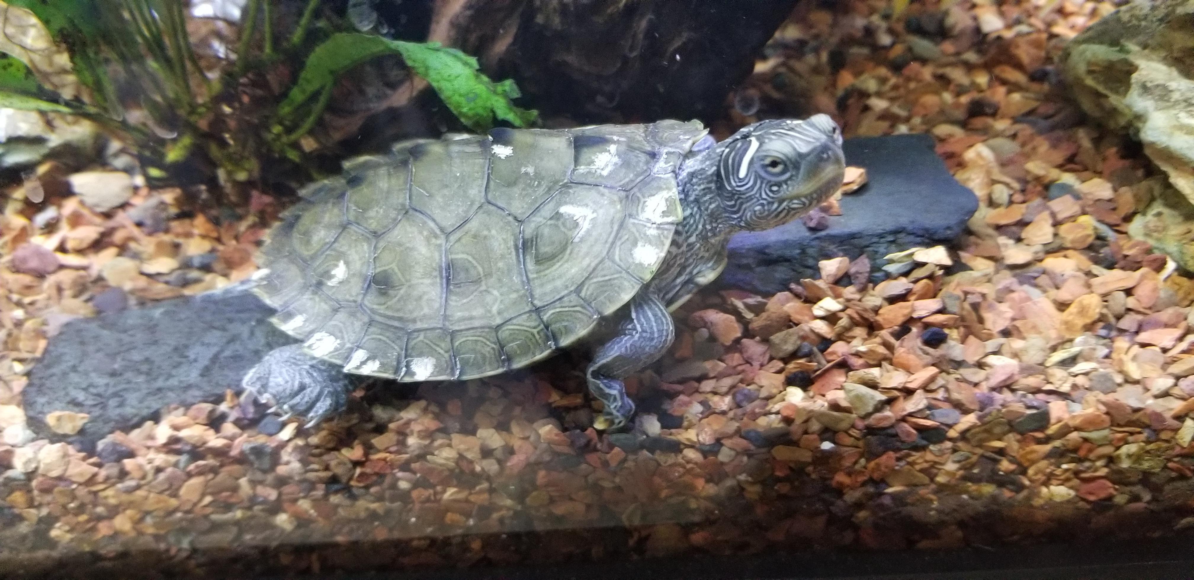 Snapping Turtle Shell Rot - Ala Model Kini