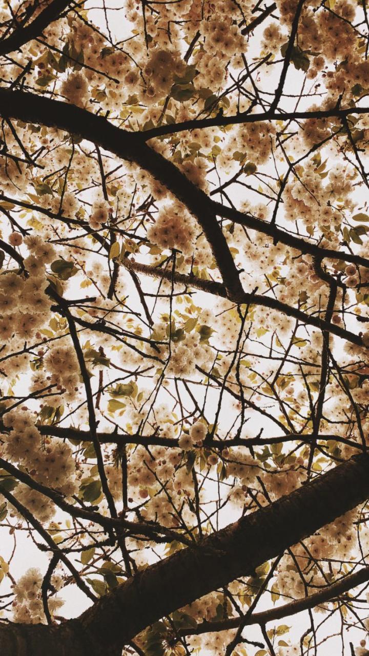Cherry Blossoms 9:16