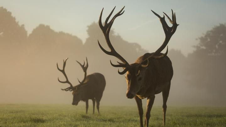 Two red deer stags grazing in the mist, England (Photo credit to Diana Parkhouse) [3840 x 2160]