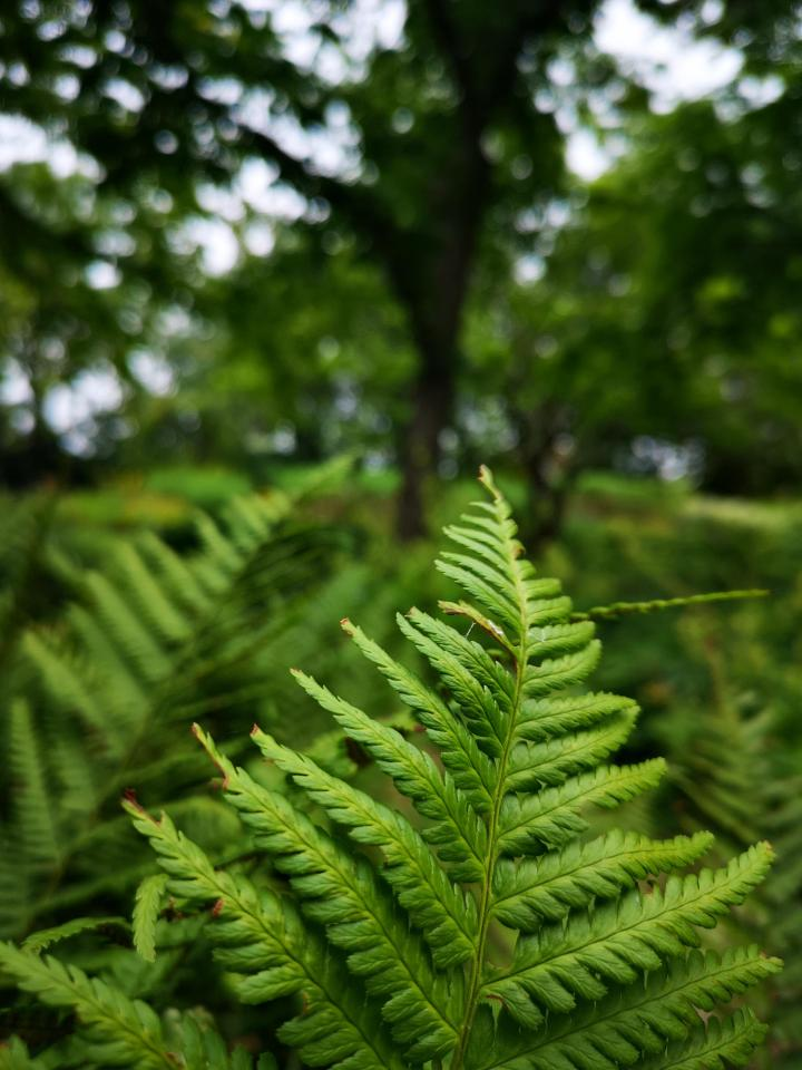 Autumn fern in a park in Erfurt (Germany, Thuringia)