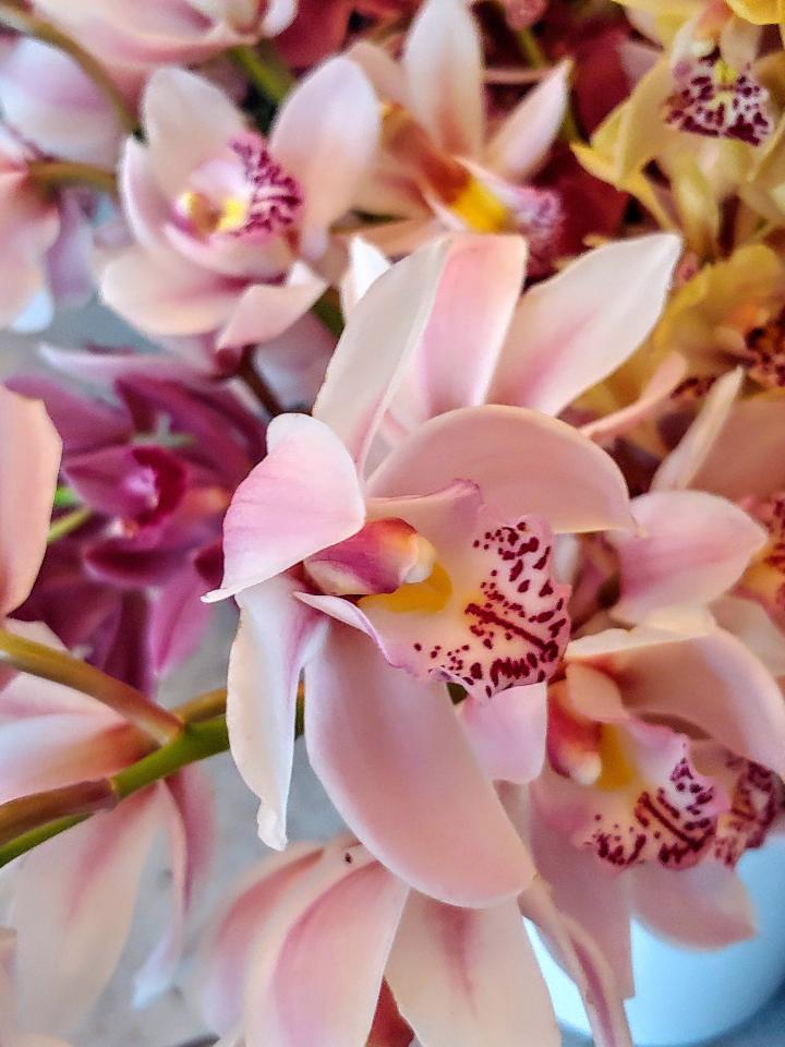 Boat orchids (Cymbidium)