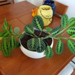 My Prayer Plant Has Tripled In Size Over The Past Month And I M Amazed Houseplants