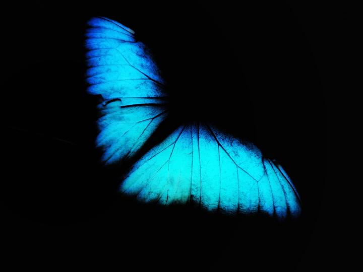 A blue butterfly I photographed and edited into a oled wallpaper. (Mi 11 ultra & snapseed)