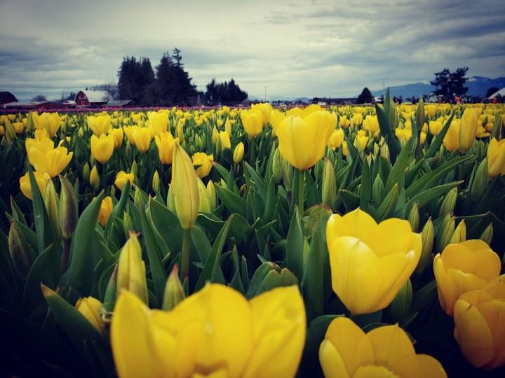 Tulips in Skagit Valley, Washington (Photo credit to u/aguylivinginthepnw) [4032 x 3024]